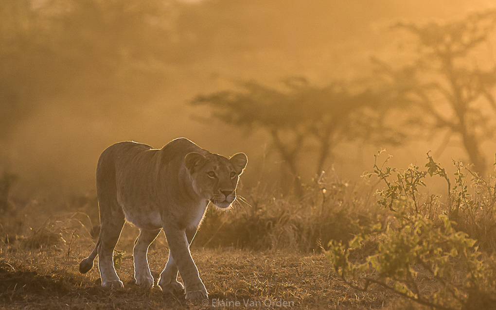 Lioness bathed in golden light