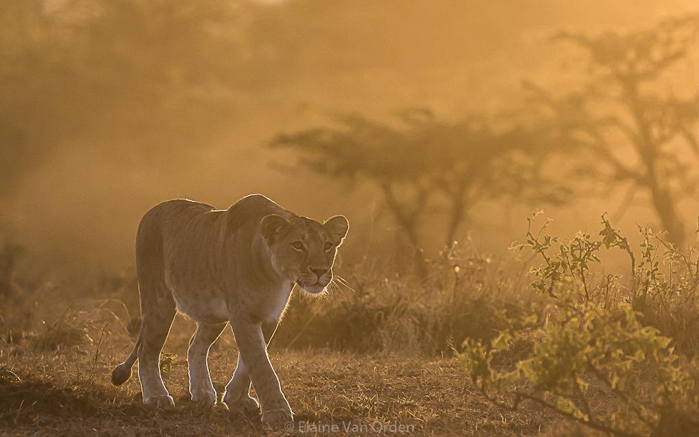 Lioness bathed in golden light