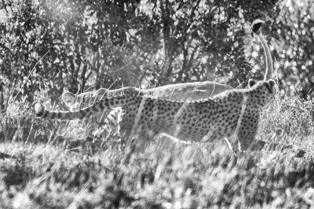 Cheetah chases lioness