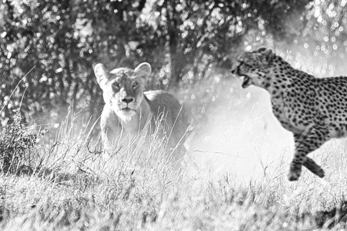 Cheetah Malaika protects cubs from lioness
