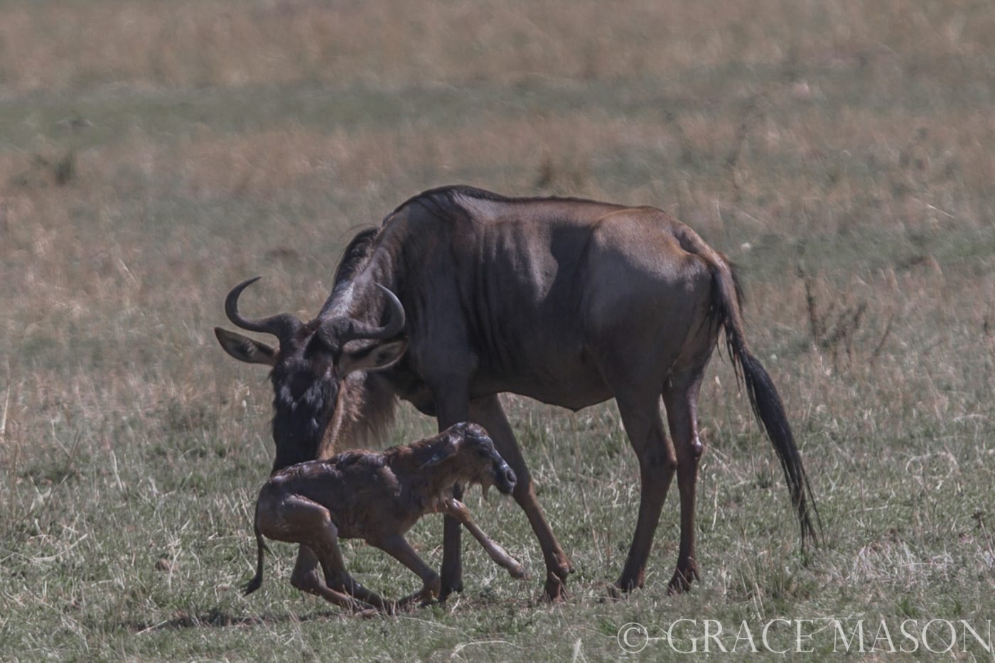 1st steps for newborn gnu