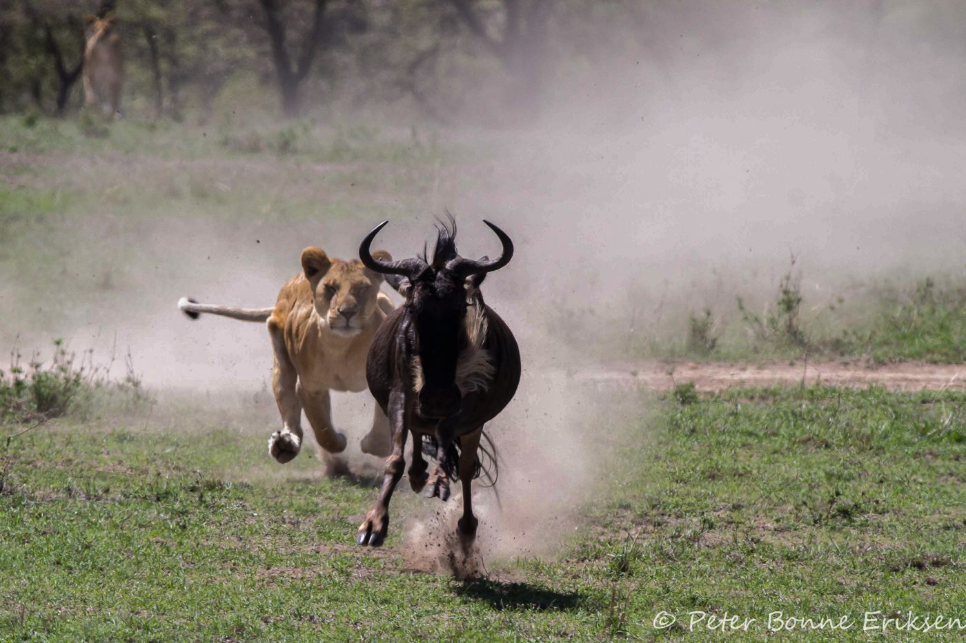 Lion wilderbeest chase