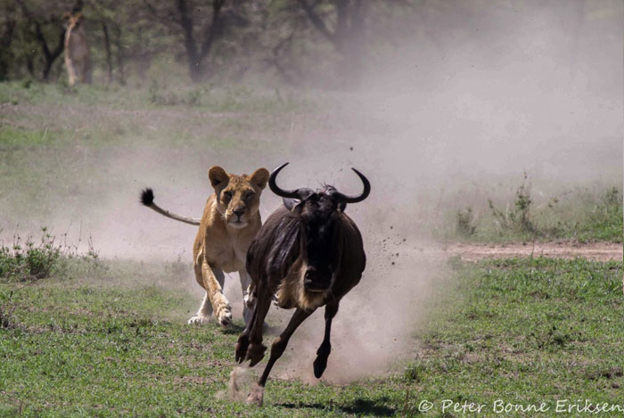 Lion hunts wilderbeest