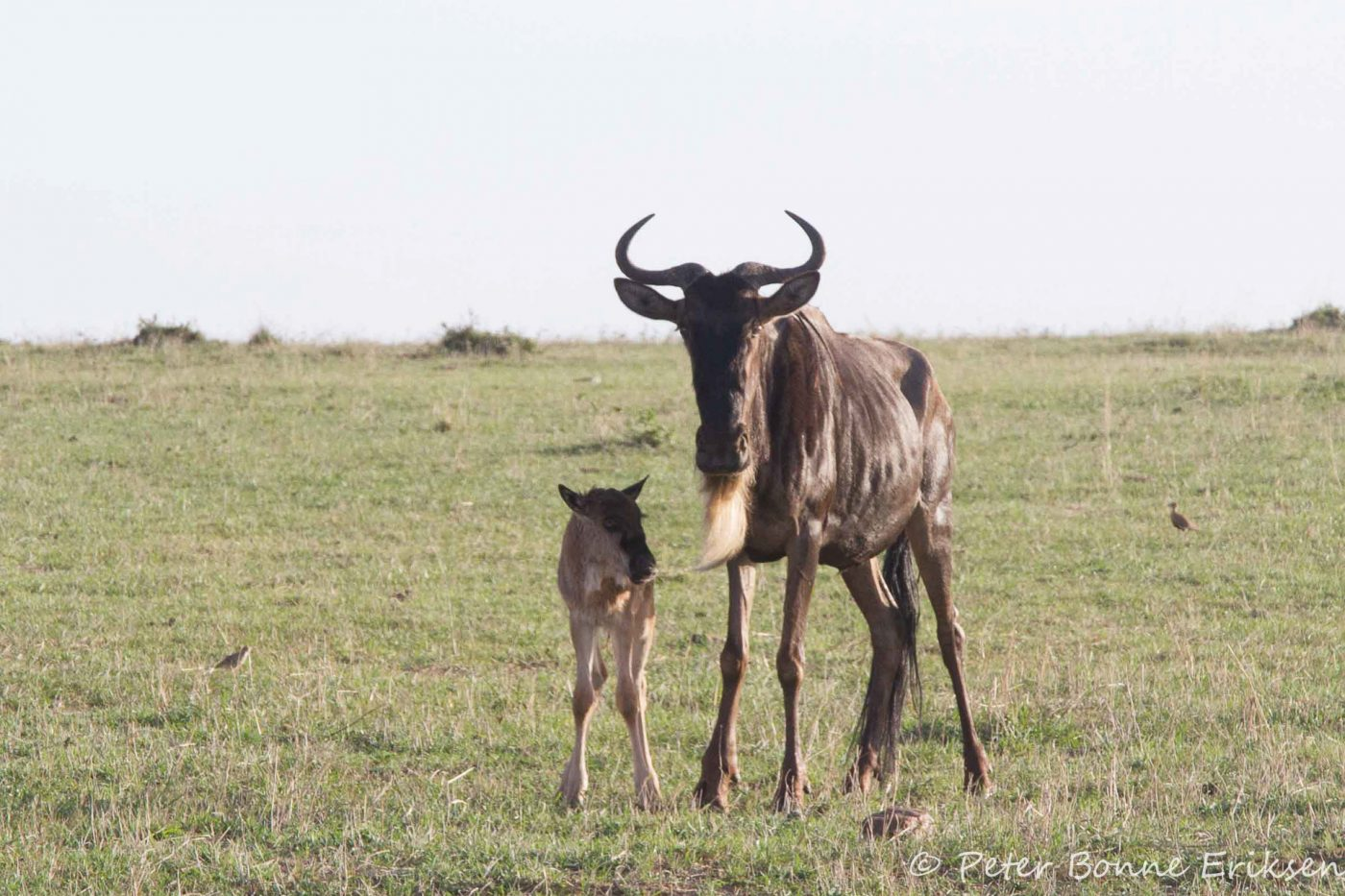 Wildebeest with new born calf