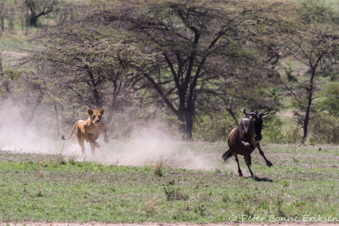Lion hunts pregnant wilderbeest
