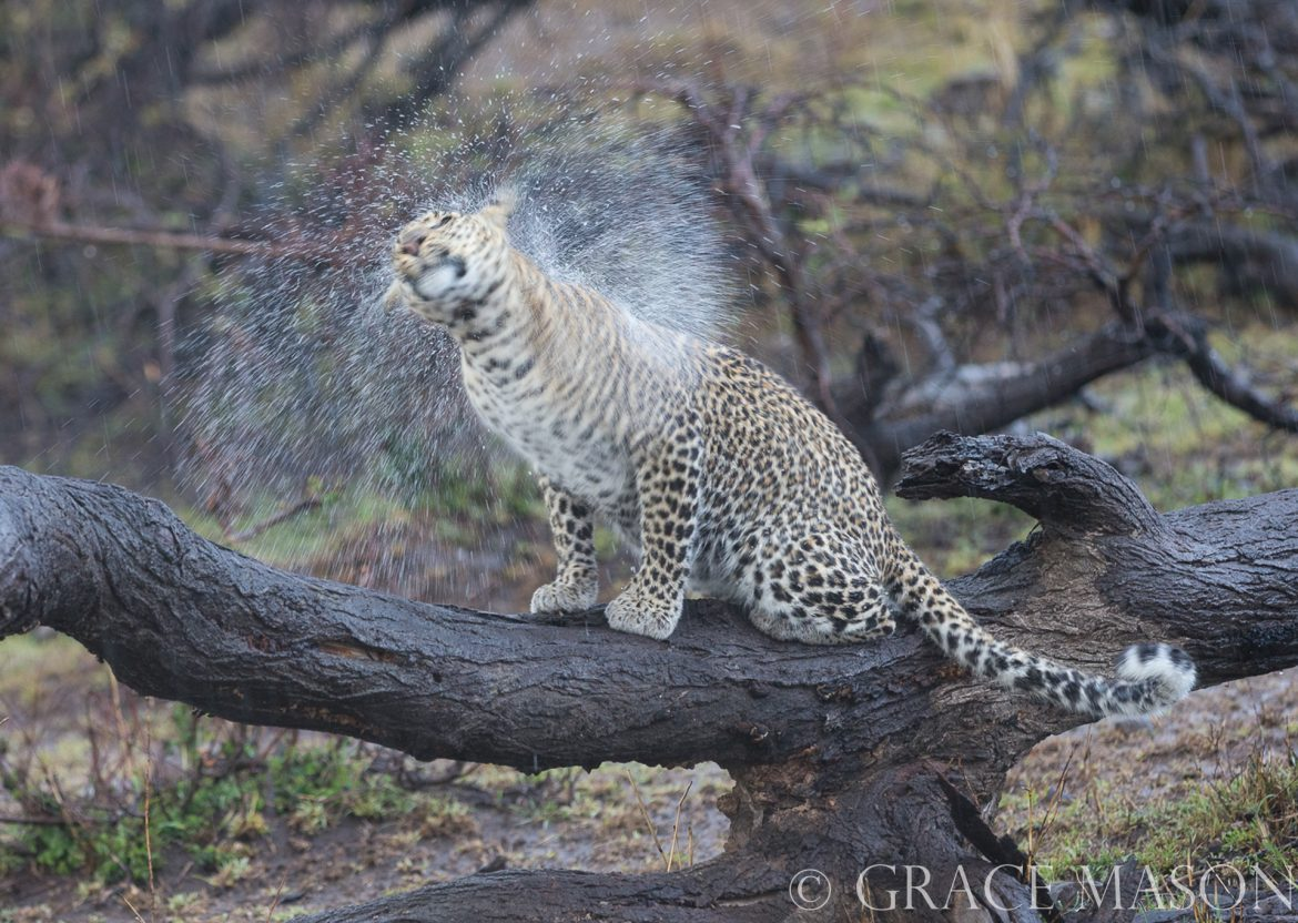 Fig leopard shakes off rain